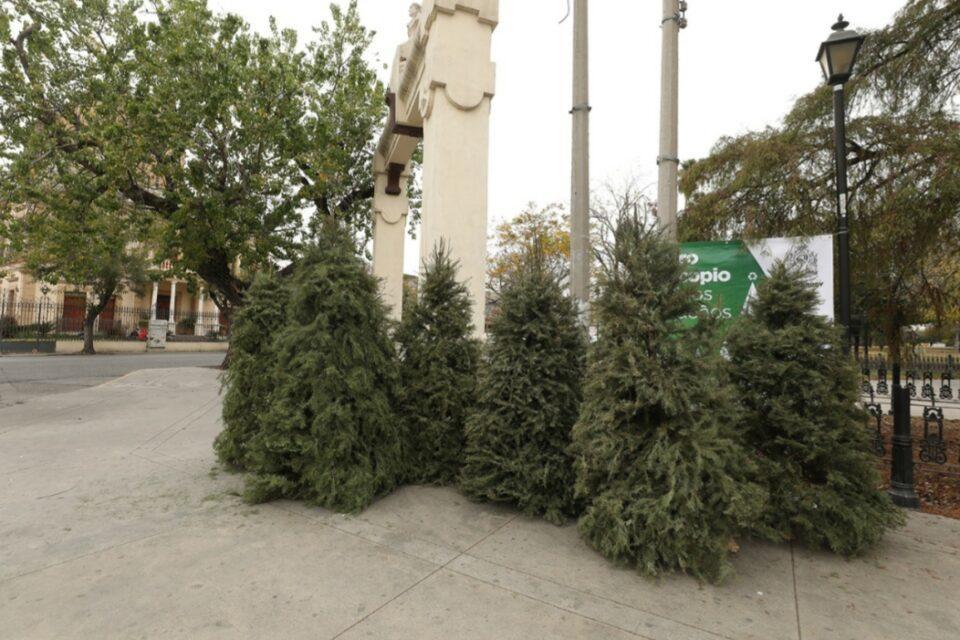 Instala Monterrey centros de acopio de pinos navideños naturales